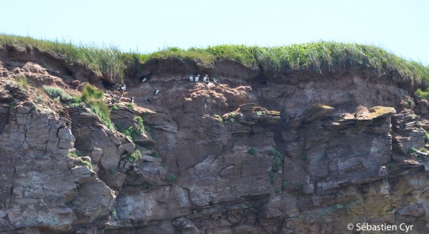 Atlantic Puffins at Brion island