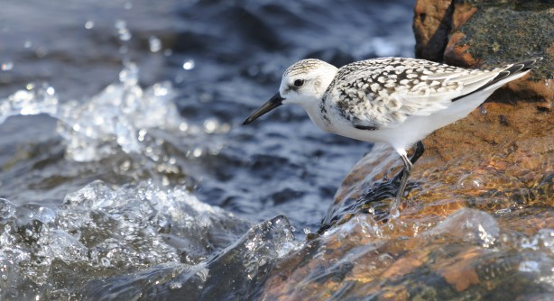 Birdwatching - B. sanderling