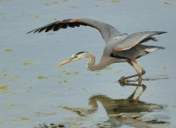 Birdwatching - Great Heron
