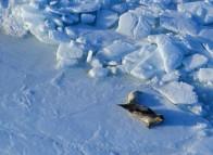 Seals on the ice floes around the Îles de la Madeleine