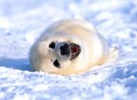 Seal pup - Îles de la Madeleine